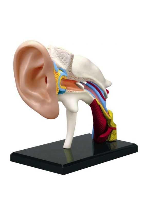 Oído Didáctico a Escala Desmontable