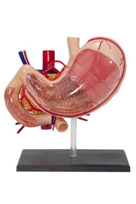 Maqueta Didáctica de Estómago
