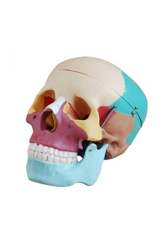 Cráneo Humano Tamaño Real. Colores