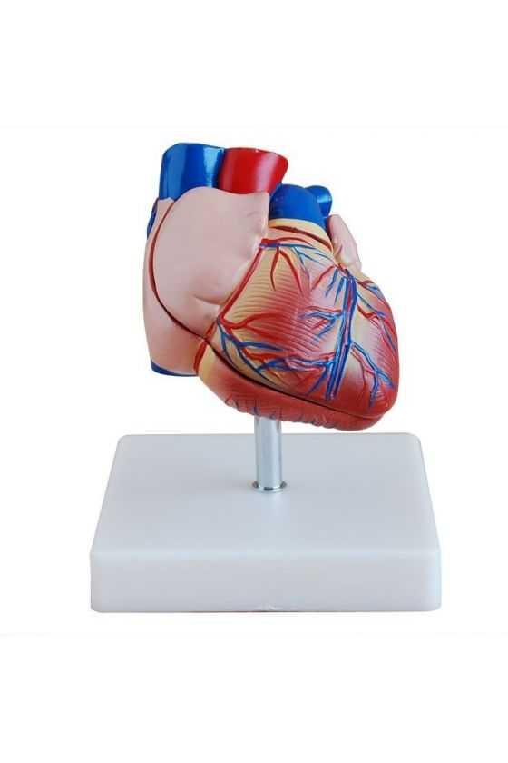 Corazón Humano a Escala
