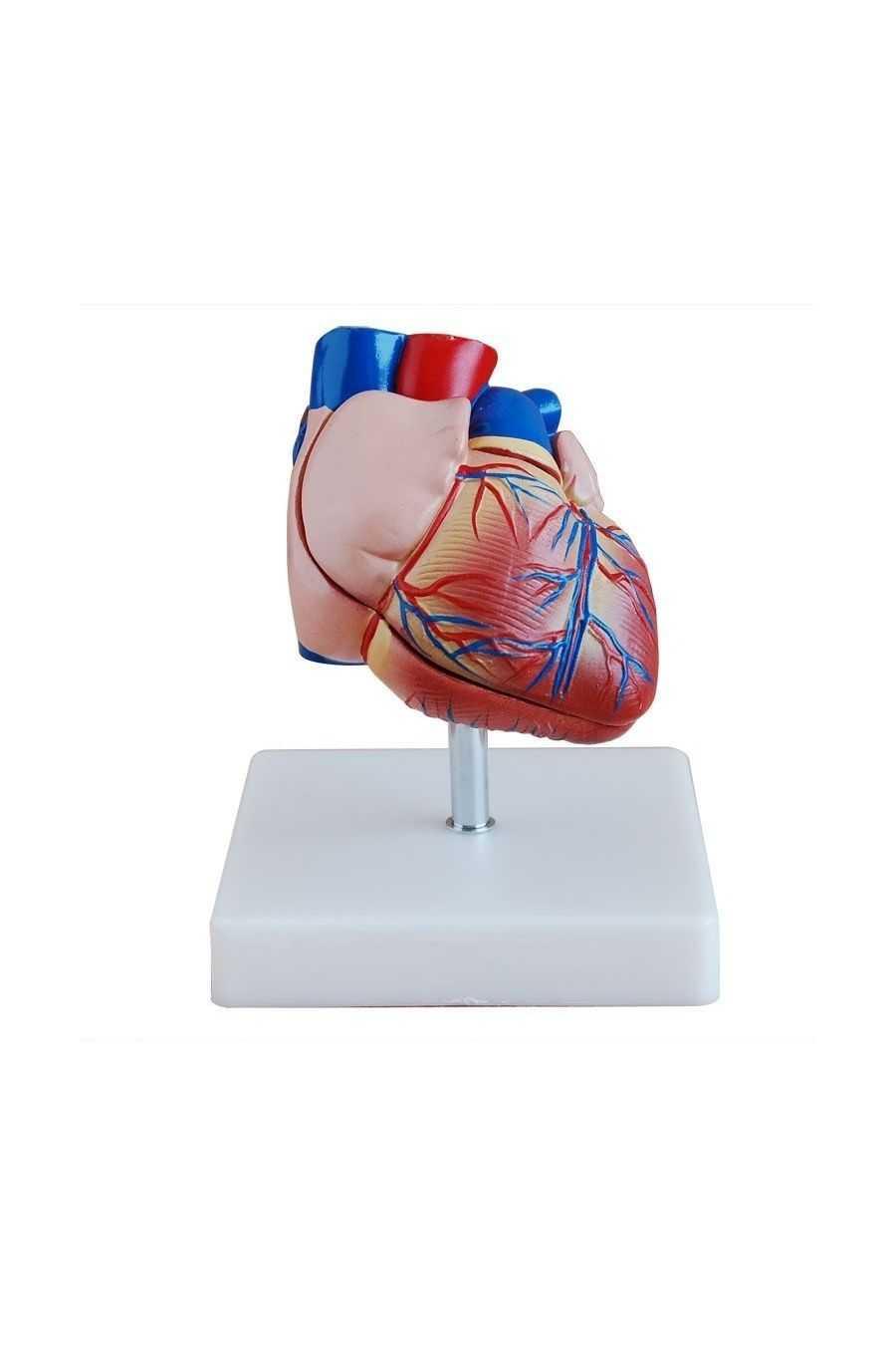 Corazón Humano a Escala. Librería Médica Orizaba