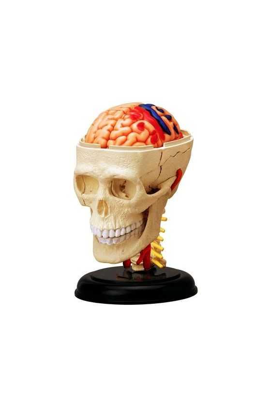 Cráneo y Encéfalo a Escala Desmontable