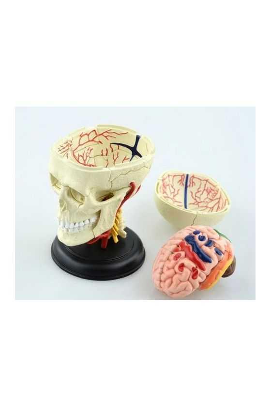 Cráneo y Encéfalo Didáctico a Escala Desmontable