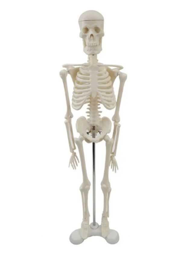 Esqueleto Humano a Escala...