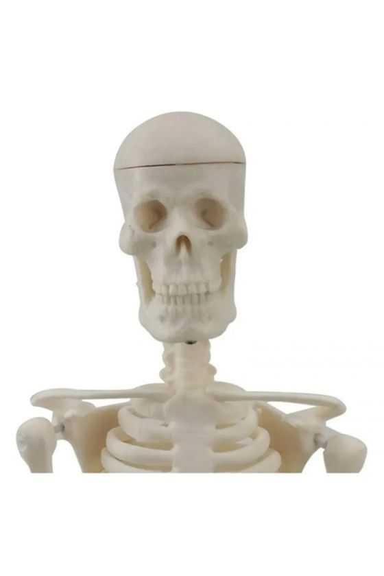 Esqueleto Humano a Escala Didáctico