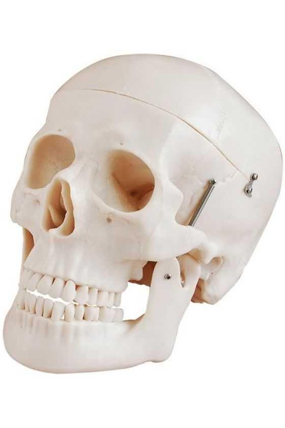 Cráneo Humano Tamaño Real